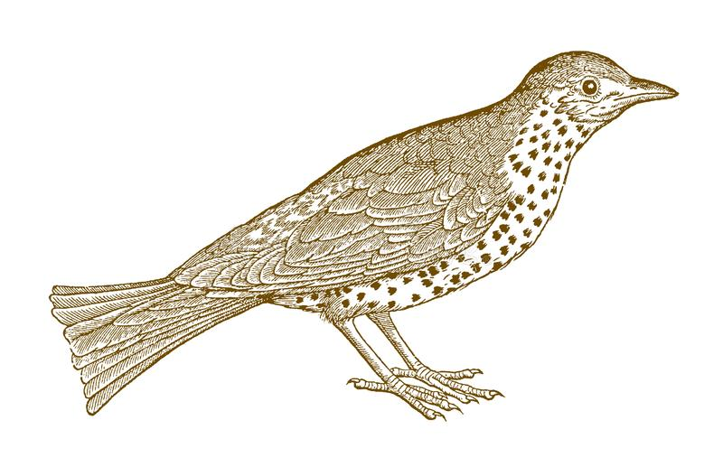 Viscivorus de turdus de grive de Mistle dans la vue de profil illustration stock