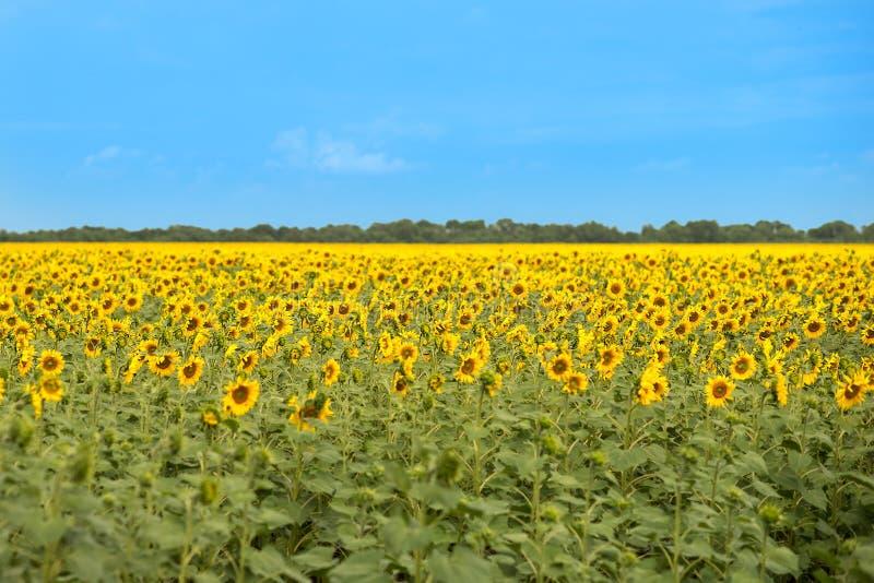 Visión agradable en el campo de girasoles en día soleado del verano imágenes de archivo libres de regalías