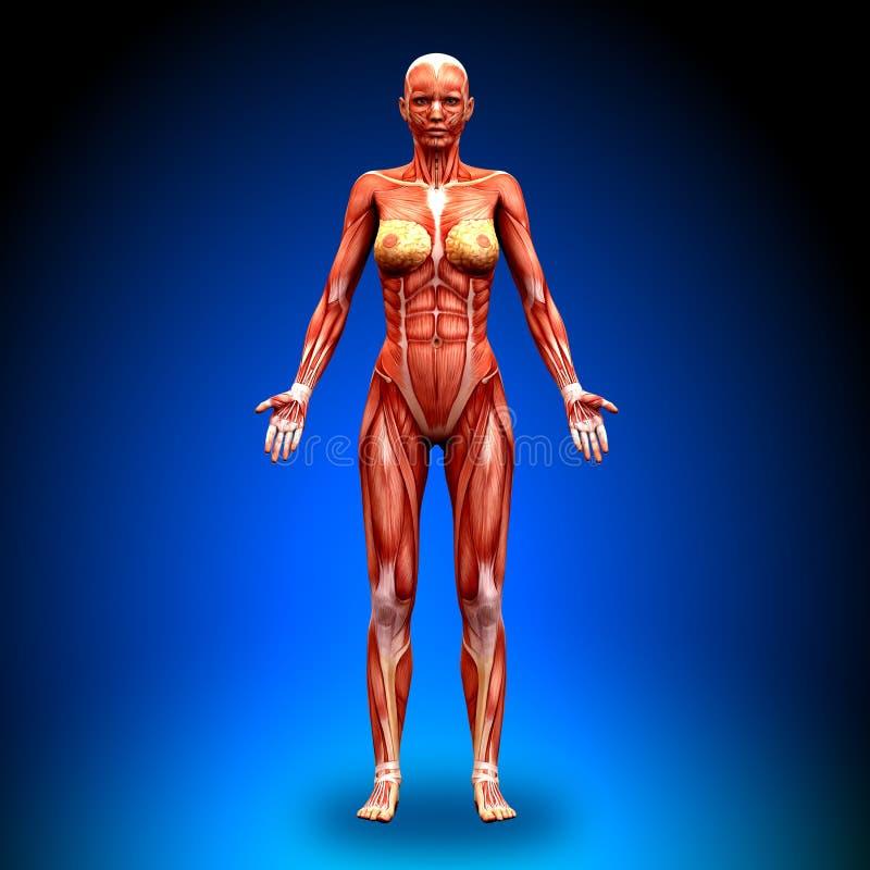 Visión anterior - músculos femeninos de la anatomía stock de ilustración