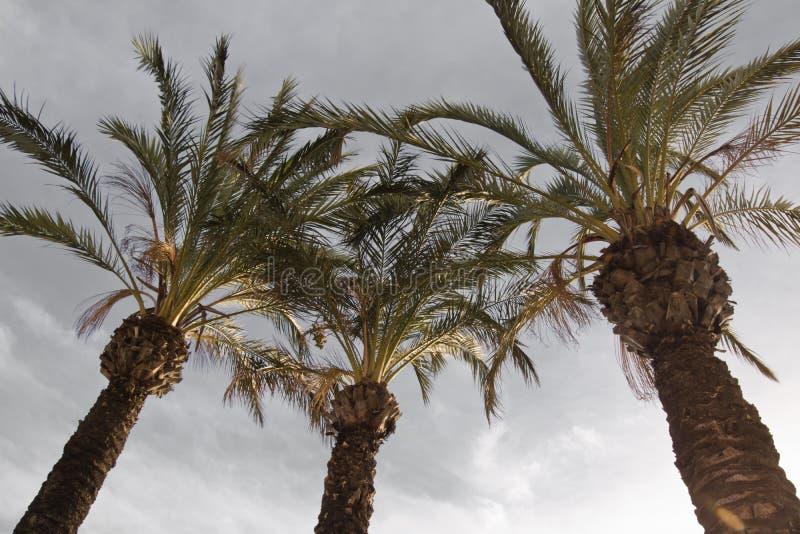 Visión arriba en tres palmeras que suben para arriba en el cielo fotografía de archivo libre de regalías