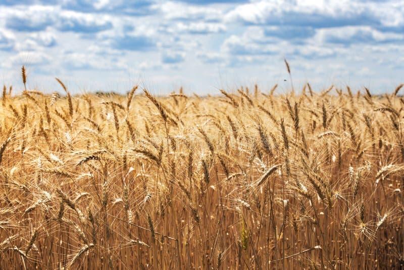Visión en el campo de trigo imagenes de archivo