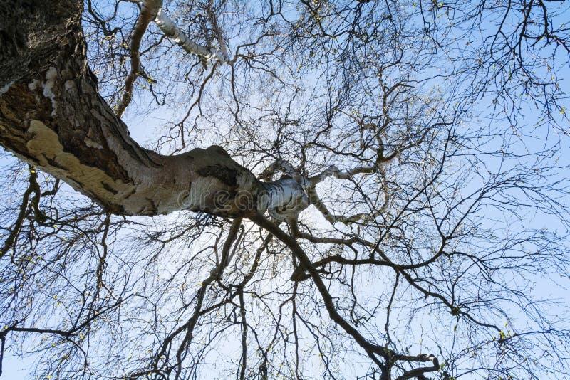 Visión en la copa de un árbol de abedul viejo desnudo fotografía de archivo libre de regalías