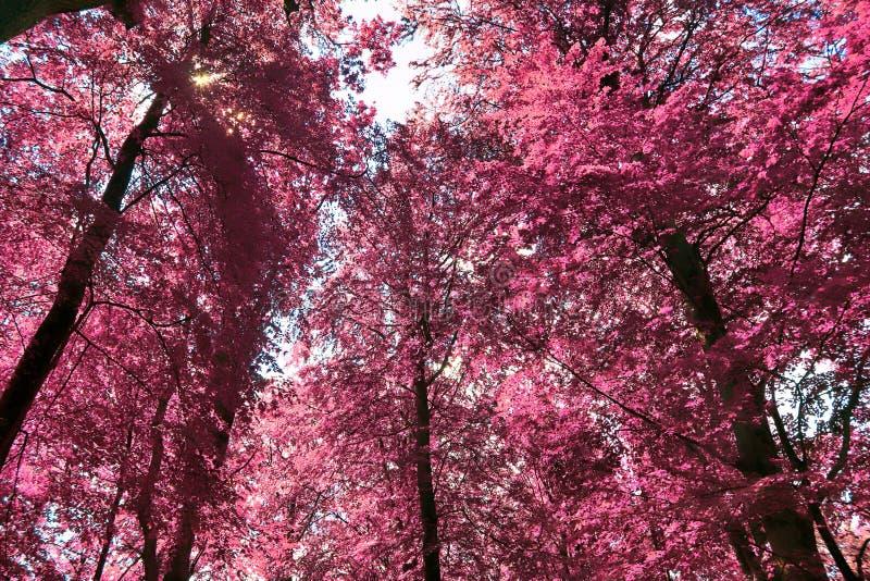 Visión infrarroja hermosa en un bosque púrpura de la fantasía fotografía de archivo