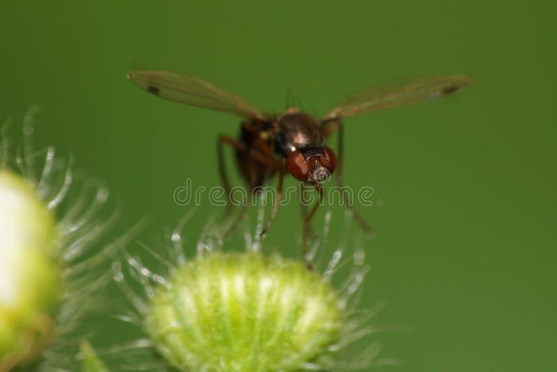 Visión macra de delante de hormigas caucásicas negras de una mosca en una gripe fotografía de archivo