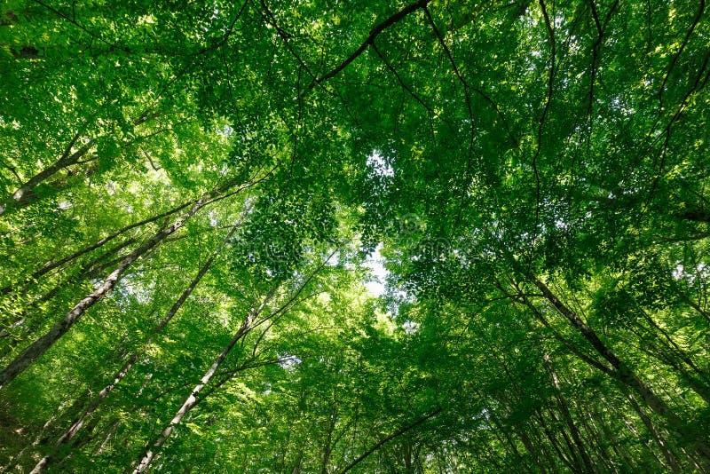 Visión para arriba en el bosque de la primavera en las coronas de árboles altos con follaje verde joven fotografía de archivo libre de regalías
