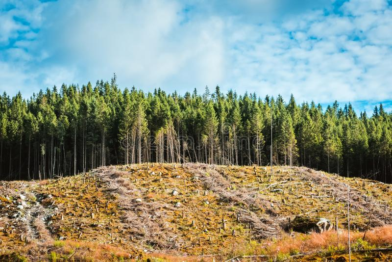 Visión para reducir el lugar en bosque del pino foto de archivo