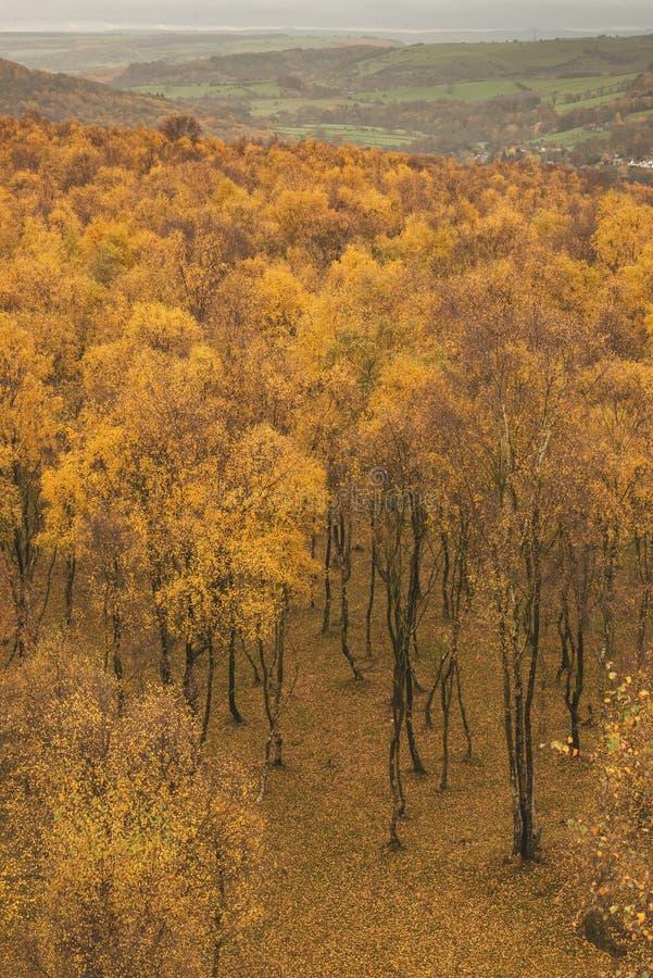 Visión que sorprende sobre el top del bosque del abedul de plata con las hojas de oro en escena del paisaje de Autumn Fall de la  imagen de archivo libre de regalías