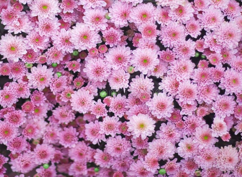 Visión superior grupo rosado colorido enorme de las flores del crisantemo que florece en jardín foto de archivo