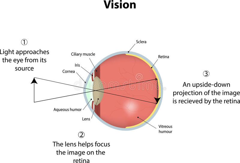 Vision. The visual system explained as an illustration vector illustration