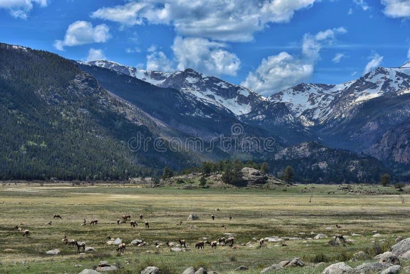 Visionnement d'élans chez Rocky Mountain National Park photographie stock libre de droits