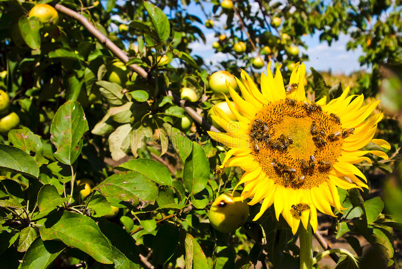 On a visit on an apiary. Sunflower among ripe juicy apples royalty free stock images