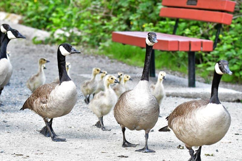 Visita de estudo da família dos gansos de Canadá foto de stock royalty free