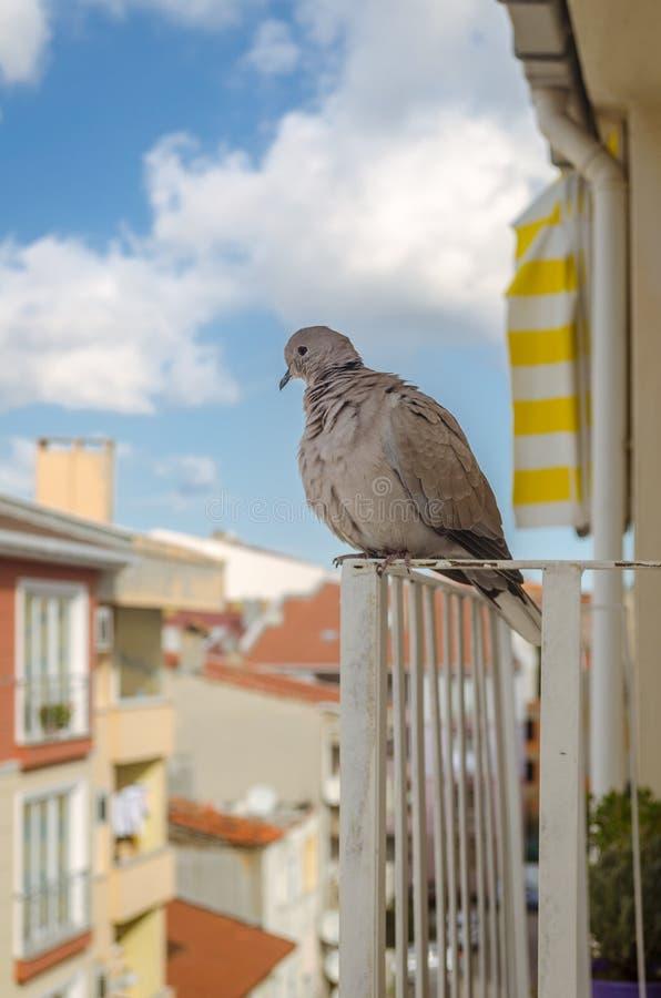 visitante Paloma-diario fotos de archivo libres de regalías