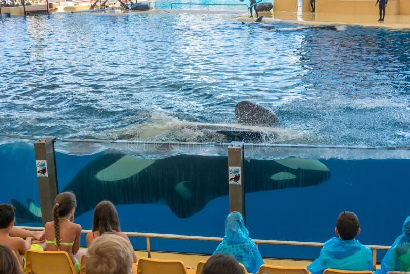 Visitantes del acuario que miran la natación de la ballena de la orca en el tanque grande fotografía de archivo libre de regalías