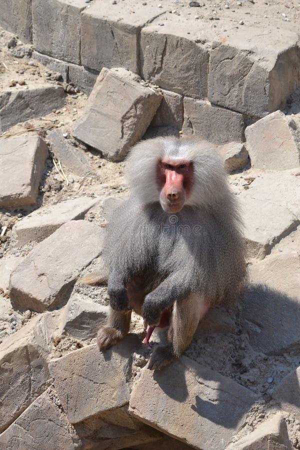Visitantes del saludo del babuino imagen de archivo libre de regalías