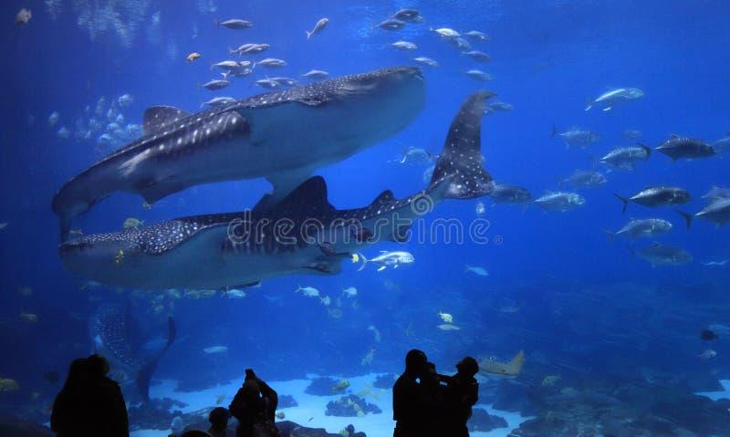 Visitantes que gozan para ver tiburones de ballena en Georgia Aquarium fotografía de archivo libre de regalías