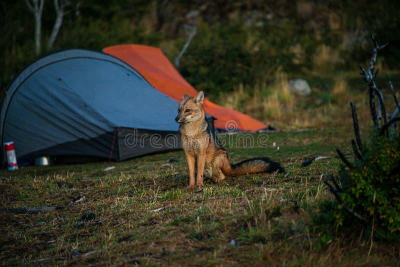 Visite de nuit d'un renard rouge sauvage au camping avec des tentes en parc national de Torres del Paine, Patagonia, Chili images stock