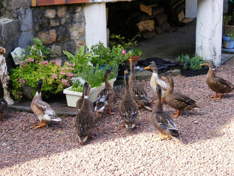 Visiting ducks in garden Anvin France royalty free stock photos