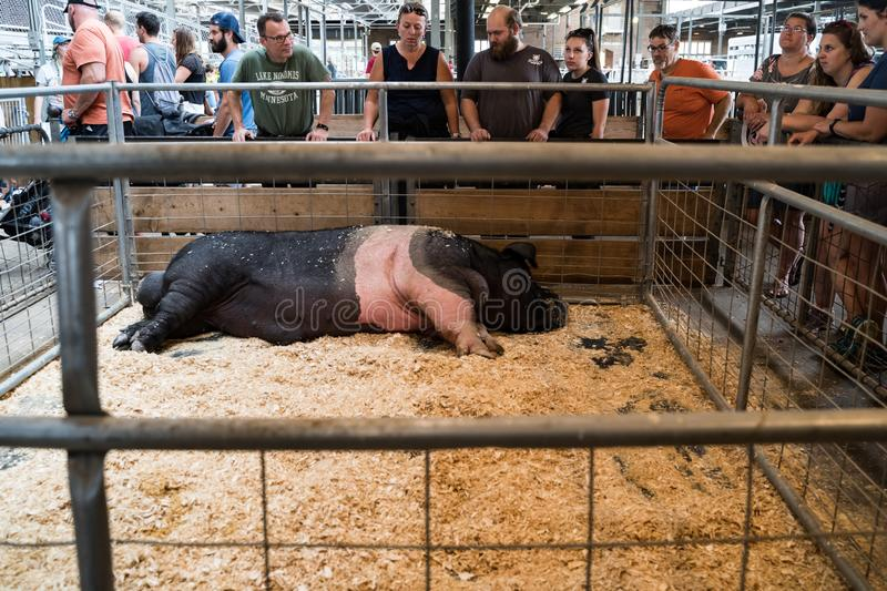 Visitors admire the Largest Boar on display in a pig pen at the Minnesota State Fair royalty free stock image