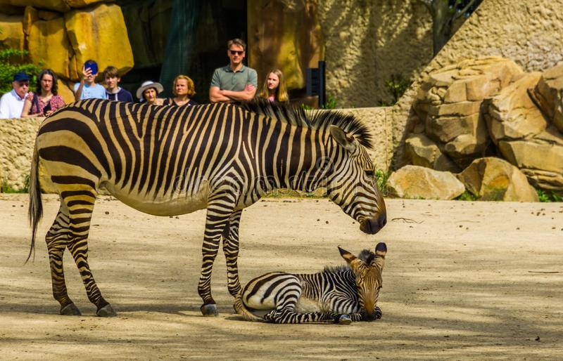 Visitors of the antwerp animal zoo watching a hartmann`s mountain zebra with foal, Antwerpen, Belgium, april 23, 2019. Many visitors of the antwerp animal zoo royalty free stock photo