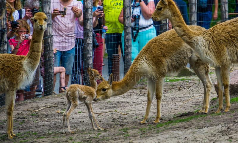 Visitors of the blijdorp animal zoo Rotterdam photographing the newborn vicuna fawn, Rotterdam, june 22, 2019. Many visitors of the blijdorp animal zoo Rotterdam stock photography