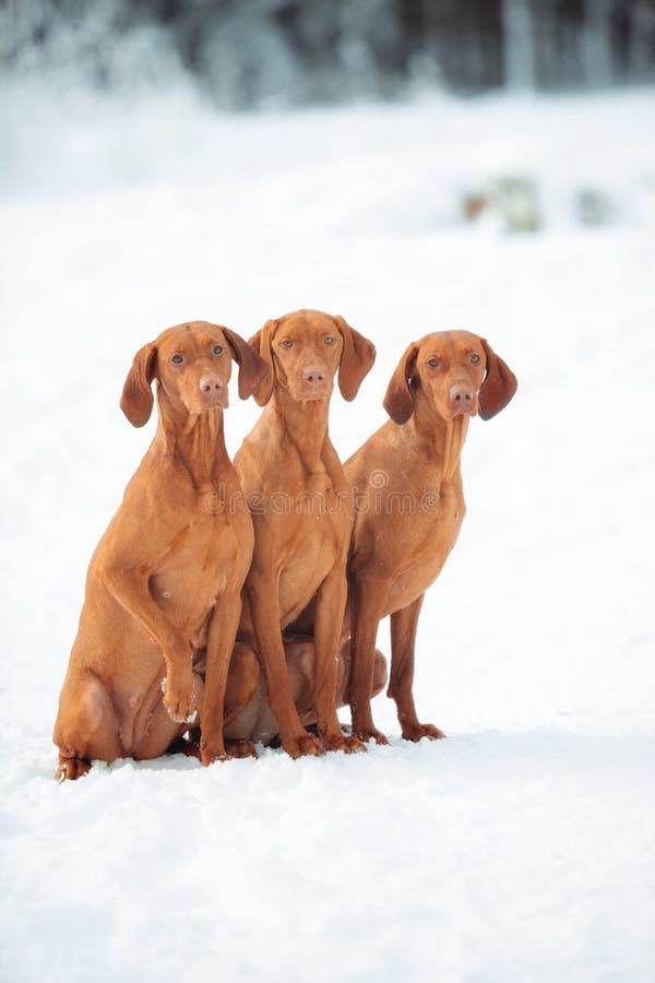 Visla vermelho bonito que senta-se na neve, retrato do cão foto de stock royalty free