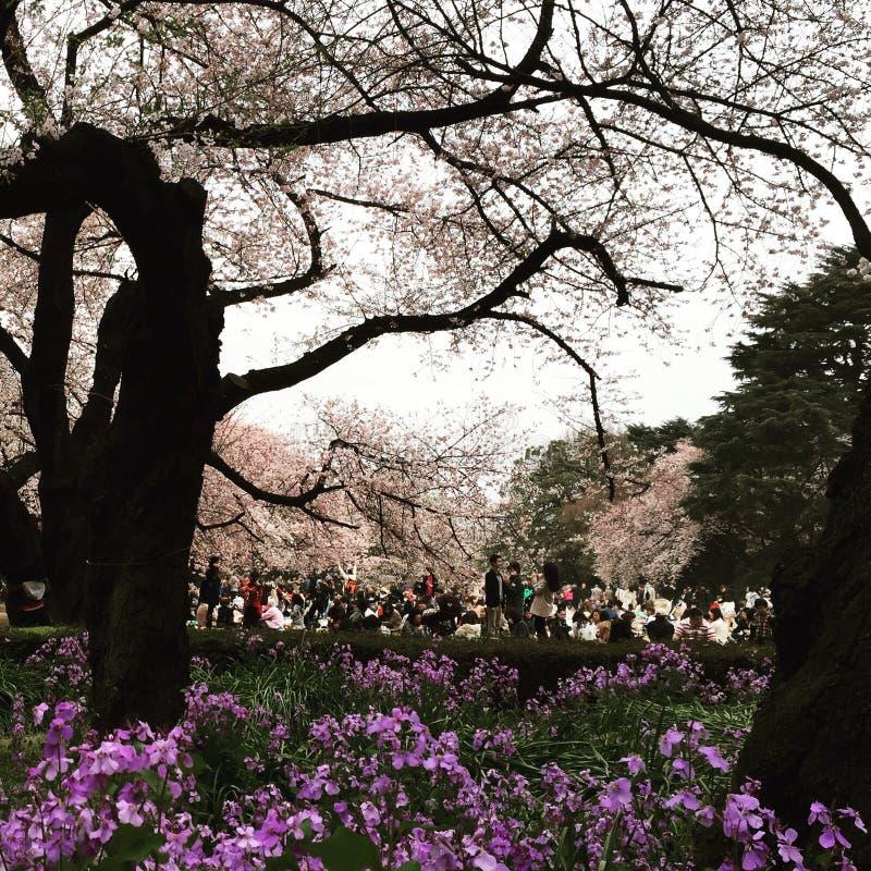 Visning för körsbärsröd blomning royaltyfria bilder