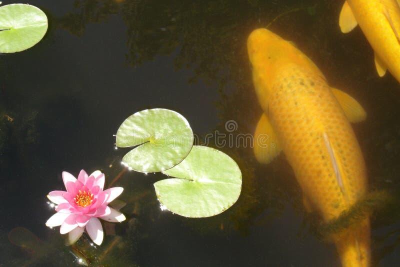 Vissen 02 van Koi stock fotografie