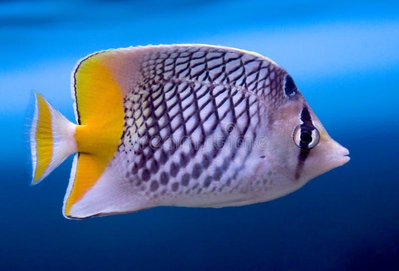 Vissen 1 van de Vlinder van Crosshatch royalty-vrije stock foto