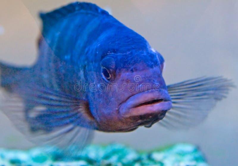 Vissen 6 van het aquarium stock afbeelding