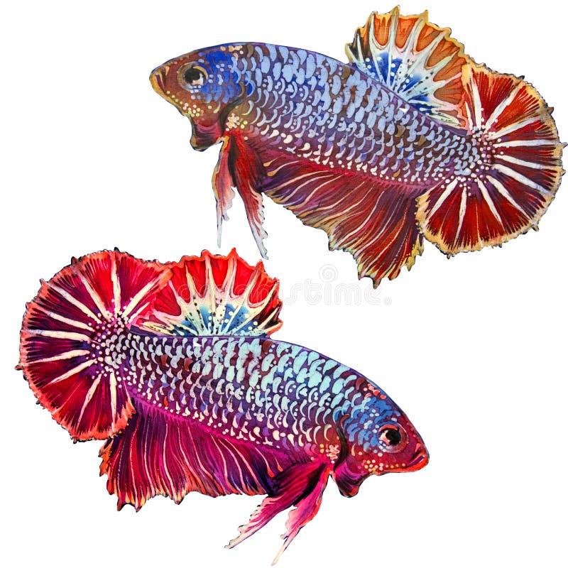 Vissen - Betta Siamese, die op een witte achtergrond trekken royalty-vrije illustratie
