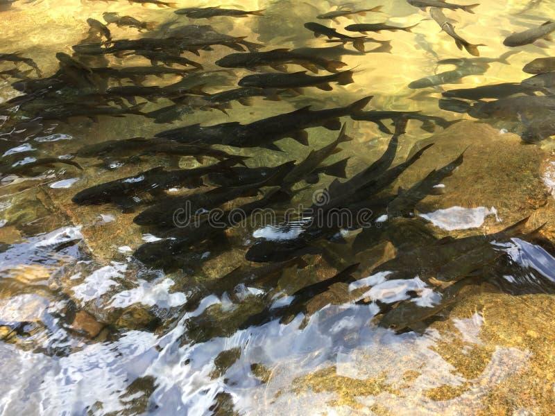 Vissen bij Pliw-waterval royalty-vrije stock fotografie
