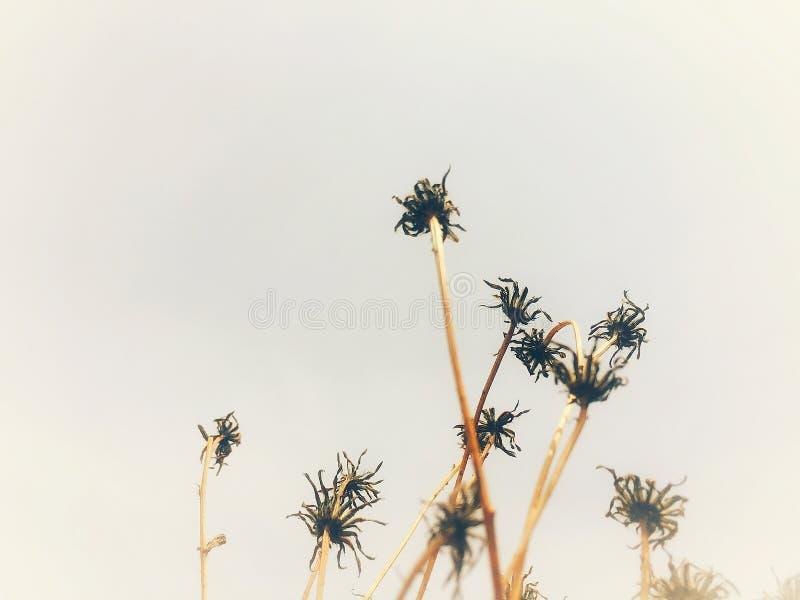 Vissen chrysanthemum arkivfoto
