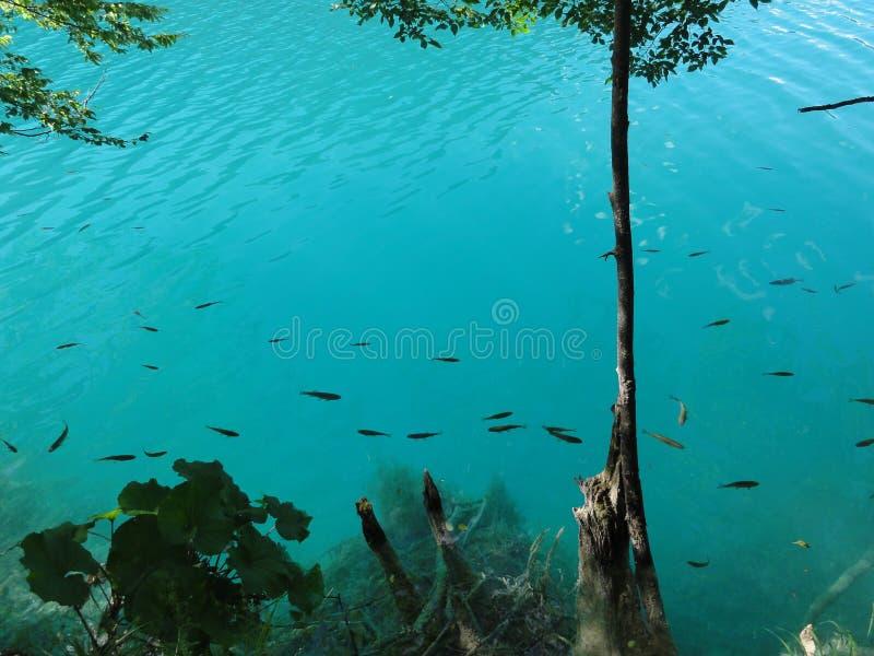 Vissen in de azuurblauwe plitvicemeren royalty-vrije stock afbeeldingen