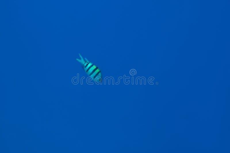 Vissen die in blauwe overzees zwemmen royalty-vrije stock afbeeldingen