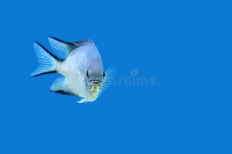 Vissen die in het overzees zwemmen stock foto