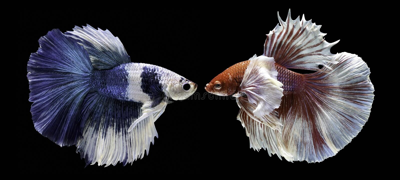Vissen die, mooie vissen, kleurrijke vissen die Siam, op een zwarte achtergrond bestrijden vechten stock foto's