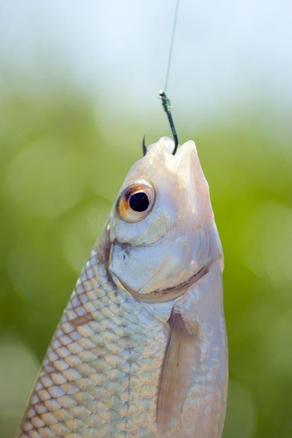 Vissen die op een haak worden gevangen royalty-vrije stock afbeelding