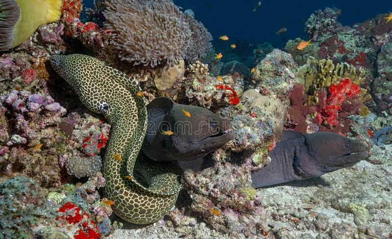 Vissen die op een slang lijken die in koralen in de Maldiven wordt gecamoufleerd royalty-vrije stock foto