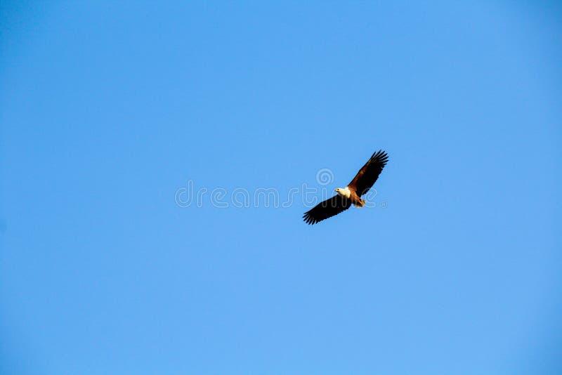 Vissen Eagle stock afbeelding
