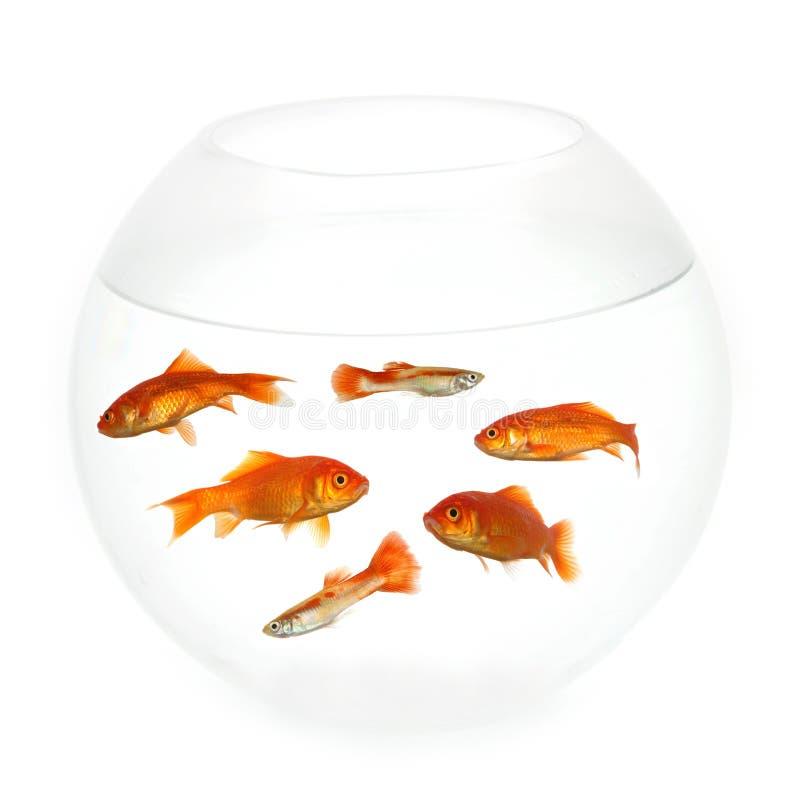 Vissen in een kom stock afbeeldingen