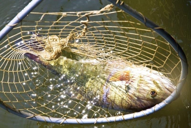 Vissen in een Net royalty-vrije stock fotografie