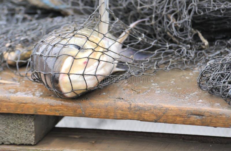 Vissen in een visserijnet royalty-vrije stock fotografie