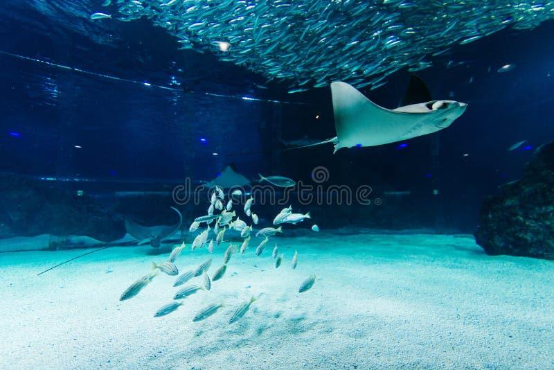 Vissen en pijlstaartroggen in een aquarium royalty-vrije stock foto