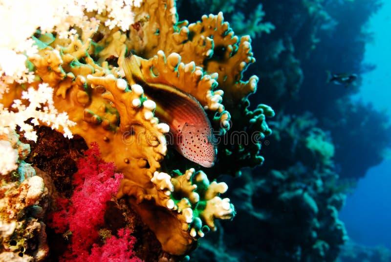 Vissen in het branden van koraal stock foto's