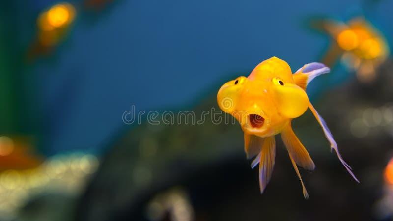 Vissen met bizarre uitdrukking royalty-vrije stock foto's