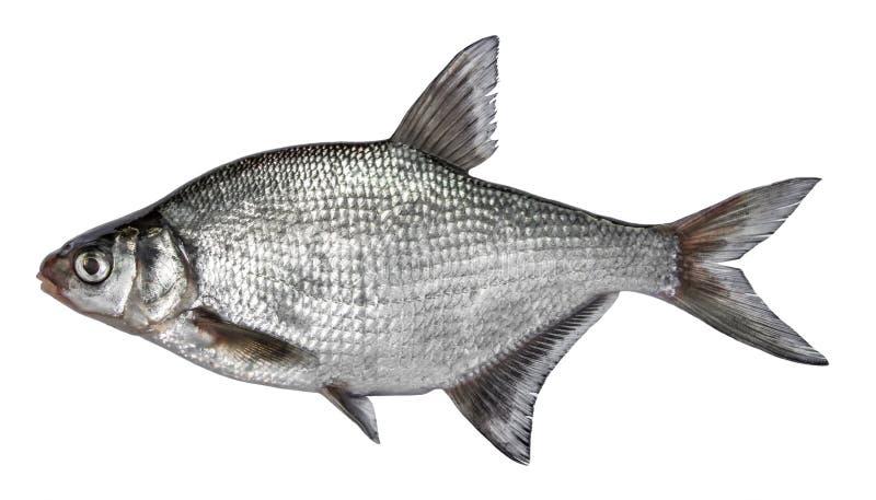 Vissen op witte achtergrond worden geïsoleerd die Gemeenschappelijke rivierbrasem Zachte nadruk royalty-vrije stock afbeeldingen