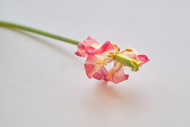 Vissen rosa tulpan för enkel blomma, vit bakgrund royaltyfri fotografi