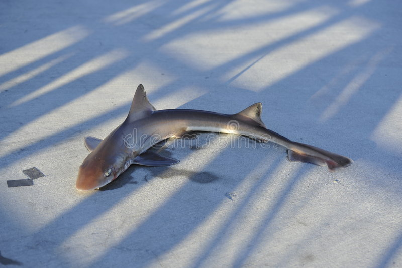 Vissen uit water stock afbeelding