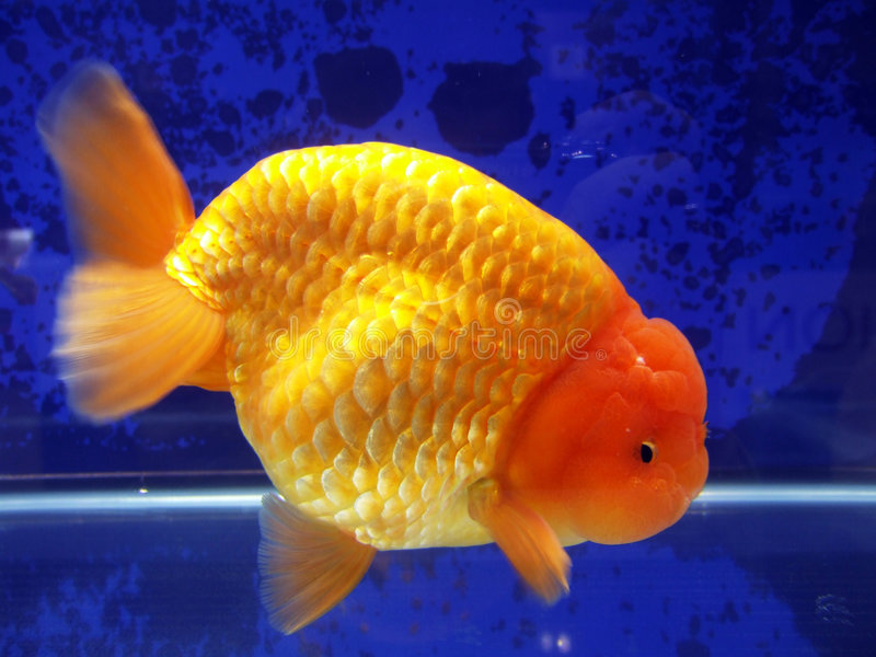 Vissen van de Leeuw van Ranchu de Hoofd gouden stock afbeelding